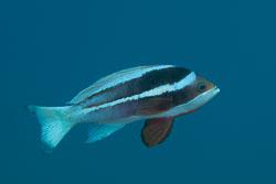 BD-121127-Aqaba-7337-Pseudanthias-taeniatus-(Klunzinger.-1884)-[Red-Sea-anthias].jpg